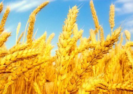 ایستگاه «آغجهکهل» مراغه مرکز ثقل تولید گندم در کشور / ۶۰ درصد بذر اراضی دیم در مراغه تولید میشود