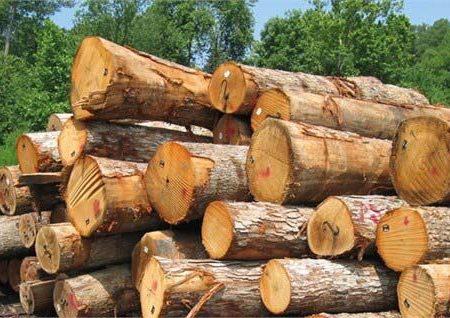 زراعت چوب گامی در راستای حفاظت جنگلها و منابع طبیعی است