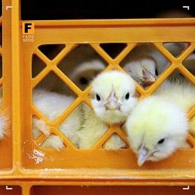 جوجه یک روزه کمیاب و گران شد/ هشدار درباره افزایش دوباره قیمت مرغ
