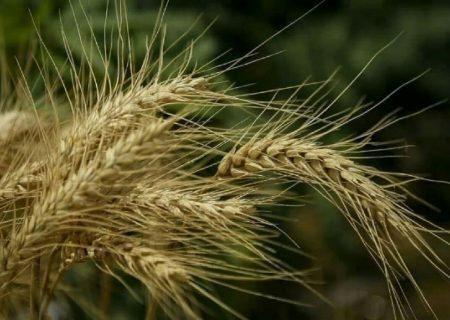 فردا قیمت گندم اصلاح می شود/ چشم انتظاری گندمکاران به پایان می رسد