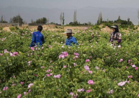 برآورد تولید بیش از ۴۵۰۰ تن گل محمدی در آذربایجان شرقی