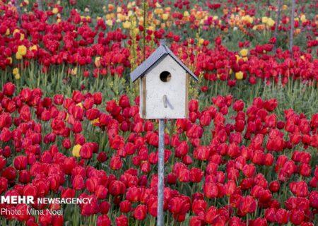 حکایت خلاقیت یک شهروند دوستدار طبیعت/ باغ منحصر به فرد لاله در تبریز