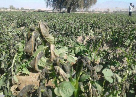 محصولات کشاورزی آذربایجان غربی بیش از ۵۰۰۰ میلیارد ریال خسارت دید