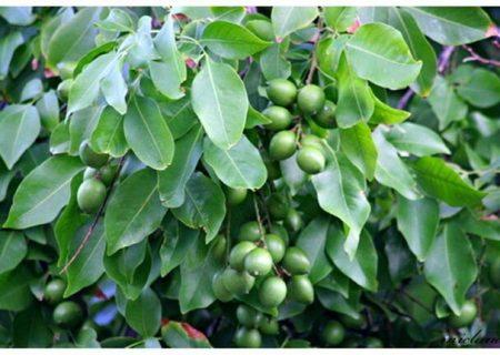 احداث گلخانهی ۱۰۰۰ هکتاری برای تولید میوههای درختی در یکانات مرند