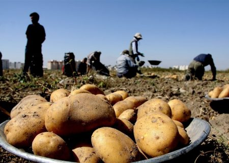 سیبزمینی ۷ برابر قیمت میادین فروخته میشود!