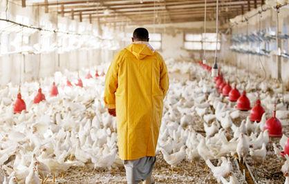 مردم مرغ کموزن، مصرف کنند
