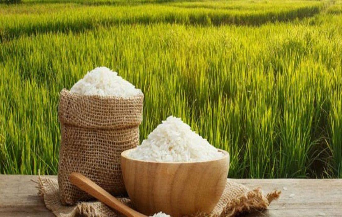 سالانه ۱۸ هزار تن برنج در میانه برداشت میشود