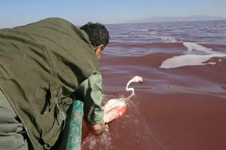 حضور فلامینگوها در دریاچه ارومیه کاهش یافت