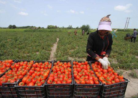 ارومیه پیشتاز تولید گوجه فرنگی در آذربایجان غربی است