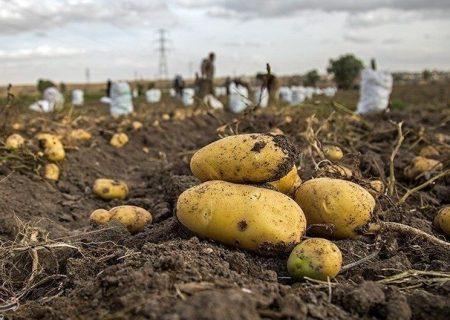 ۹ هزار تن سیبزمینی در هشترود برداشت میشود