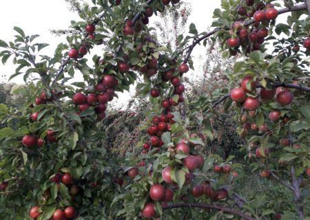 امسال ۳۵۰ هزار تن میوه از باغات مراغه برداشت میشود