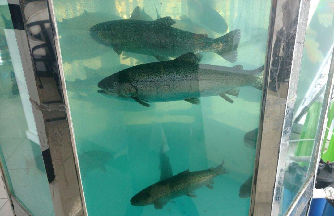 صدور و ساماندهی مجوزهای عرضه ماهی زنده در سطح آذربایجان شرقی