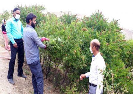 برداشت بیش از ۵۶۰ تن سماق از باغات شهرستان هوراند