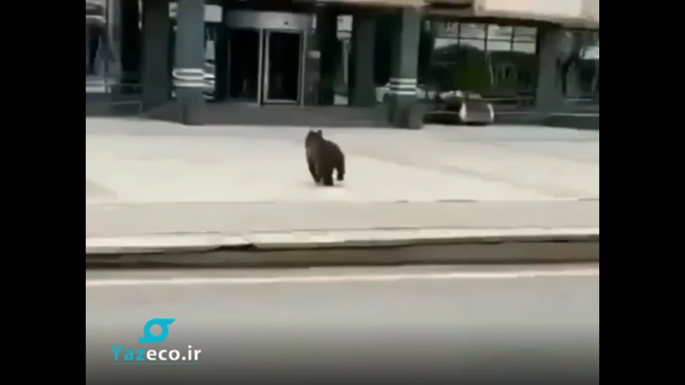 حضور بچه خرس در خیابان های شهر باکو